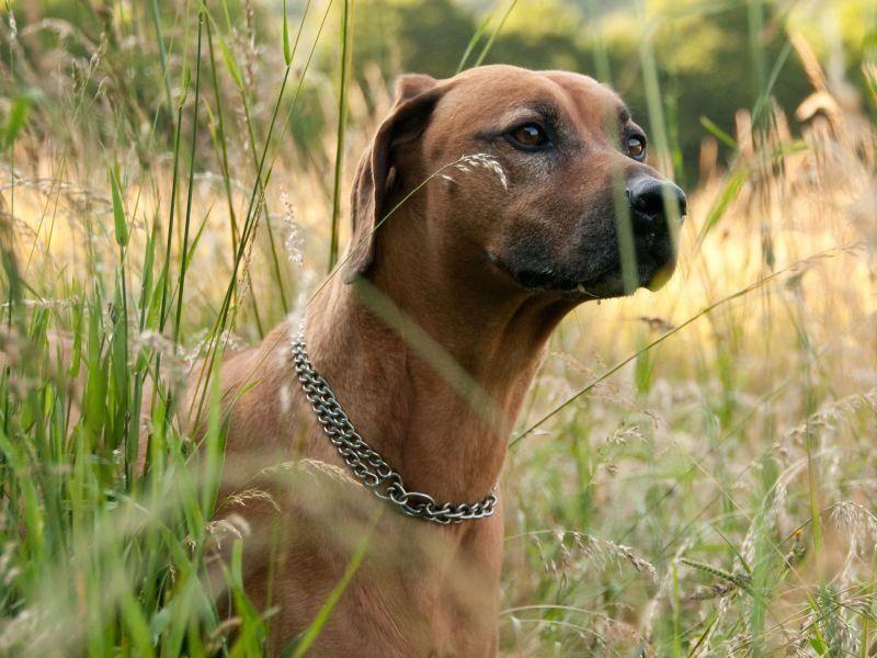 Gezüchtet wurde der Rhodesian Ridgeback als Jagdhund — Bild: Shutterstock / Vilant