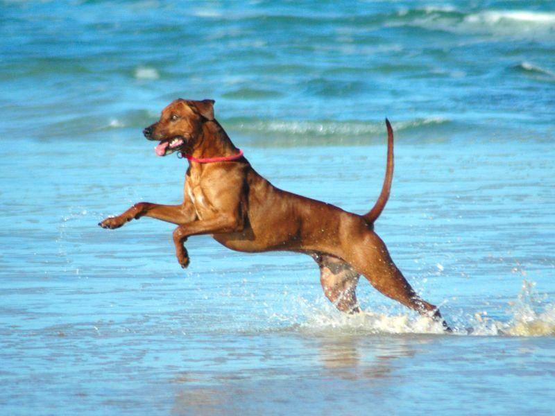 Toben am Meer: Das macht dem Rhodesian Ridgeback Spaß — Bild: Shutterstock / Anke van Wyk