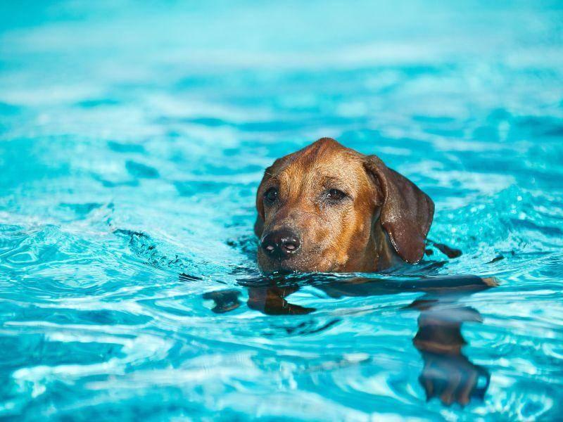 Hundesport wie Agility und Schwimmen? Kein Problem für den Rhodesian Ridgeback — Bild: Shutterstock / Tatiana Katsai