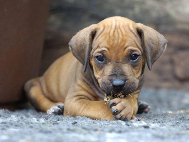 Der Rhodesian Ridgeback gehört einer Hunderasse aus Südafrika und Simbabwe an — Bild: Shutterstock / nancy dressel