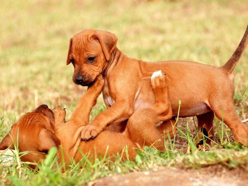 Junge Rhodesian Ridgebacks lieben es, zu toben — Bild: Shutterstock / Anke van Wyk