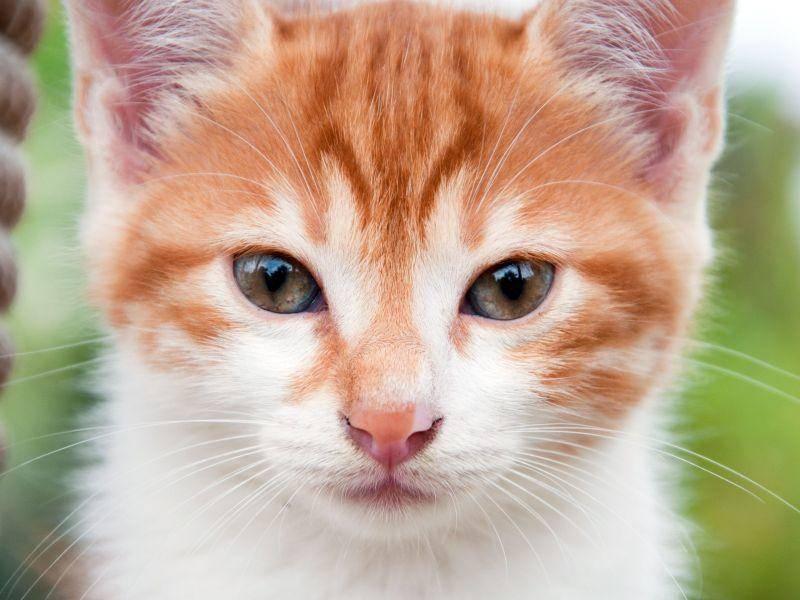 Ohne Worte: Diese junge rote Katze ist einfach zu niedlich — Bild: Shutterstock / BestPhotoPlus