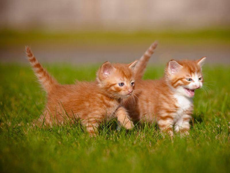 Niedlicher Ausflug: Zwei rote Katzenbabys auf Tour — Bild: Shutterstock / ots-photo