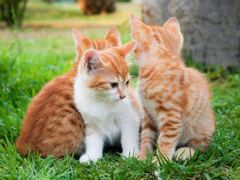 Rotes Katzengrüppchen mit verschiedenen Fellmusterungen — Bild: Shutterstock / BestPhotoPlus