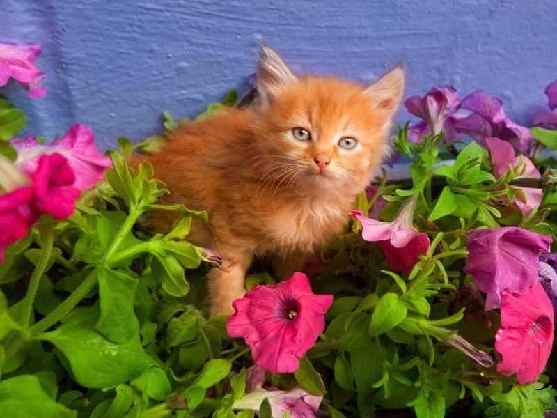 Diese kleine rote Katze mag ihre Umgebung blumig und sieht dabei bezaubernd aus — Bild: Shutterstock / Eduard Stelmakh