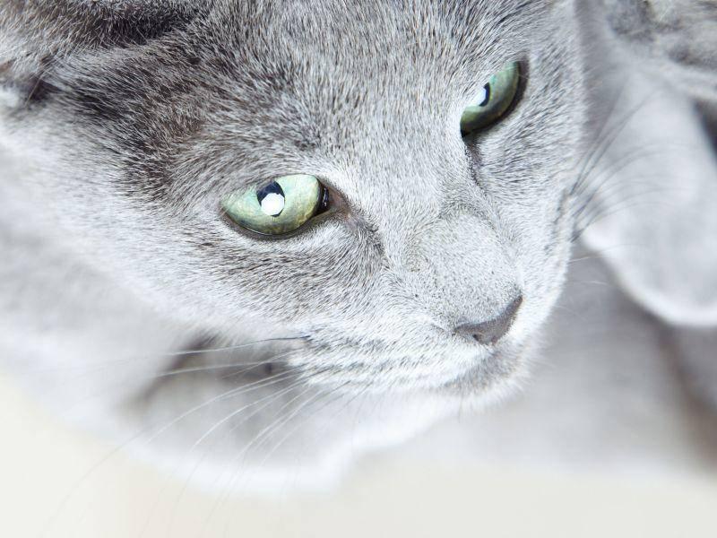 Die Augen der Russisch Blau Katze sind auffällig schön — Bild: Shutterstock / Arman Zhenikeyev