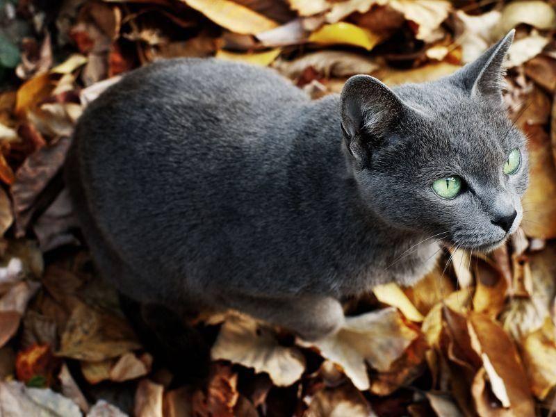 Natürlich ist die ein oder andere Russisch Blau Katze auch einem kleinen Spaziergang nicht abgeneigt — Bild: Shutterstock / liubomir