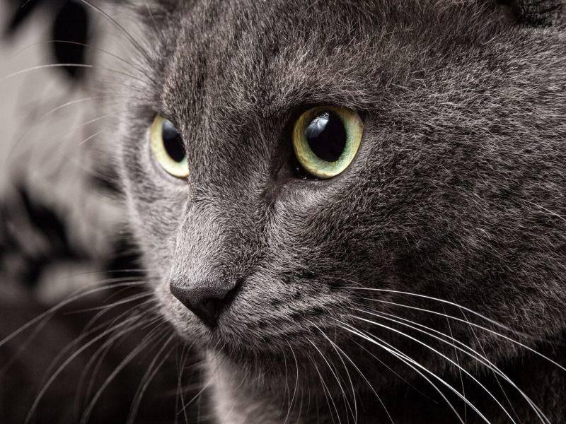 Und eins ist sicher bei den Russisch Blau Katzen: Schön sind sie alle! — Bild: Shutterstock / GooDween13