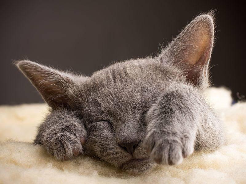 Für die Russisch Blau Katze ist immer Zeit zum Ausruhen — Bild: Shutterstock / gitusik