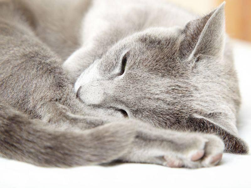 Und auch das schön gefärbte Doppelfell der Russisch Blau Katze ist faszinierend — Bild: Shutterstock / Arman Zhenikeyev