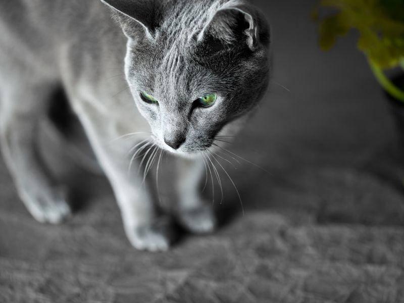 Auch als Wohnzimmerdeko würde dieRussisch Blau Katze wunderbar durchgehen — Bild: Shutterstock / Nailia Schwarz