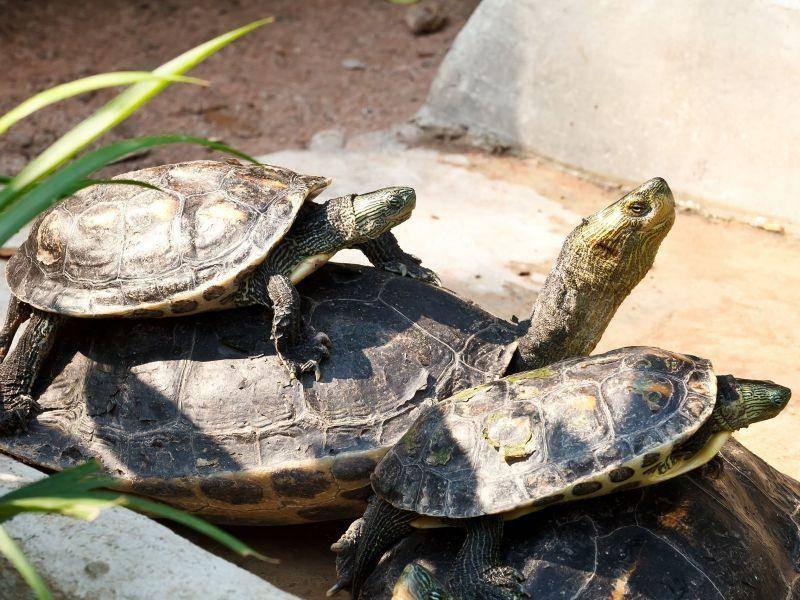 Diese Schildkröten teilen nicht nur ihr Plätzchen, sondern auch ihre Leidenschaft für die Sonne — Bild: Shutterstock / iSIRIPONG