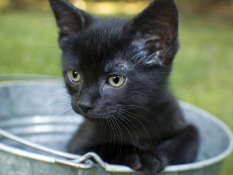Lustig aus dem Eimer gucken: Auch das können schwarze Katzenbabys nur zu gut! — Bild: Shutterstock / Jeff Thrower