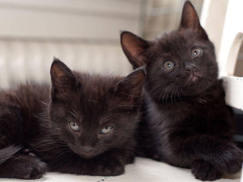 Zwei schwarze Katzenbabys zum Verlieben — Bild: Shutterstock / AnnaIA