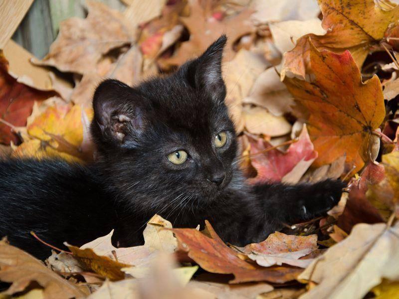 Und ab ins Laub! Schwarzes Katzenbaby in Herbstlaune — Bild: Shutterstock / Tony Campbell
