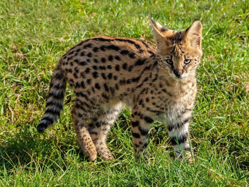 In Afrika beheimatete Raubkatze: Der Serval — Bild: Shutterstock / Sarah Cheriton-Jones