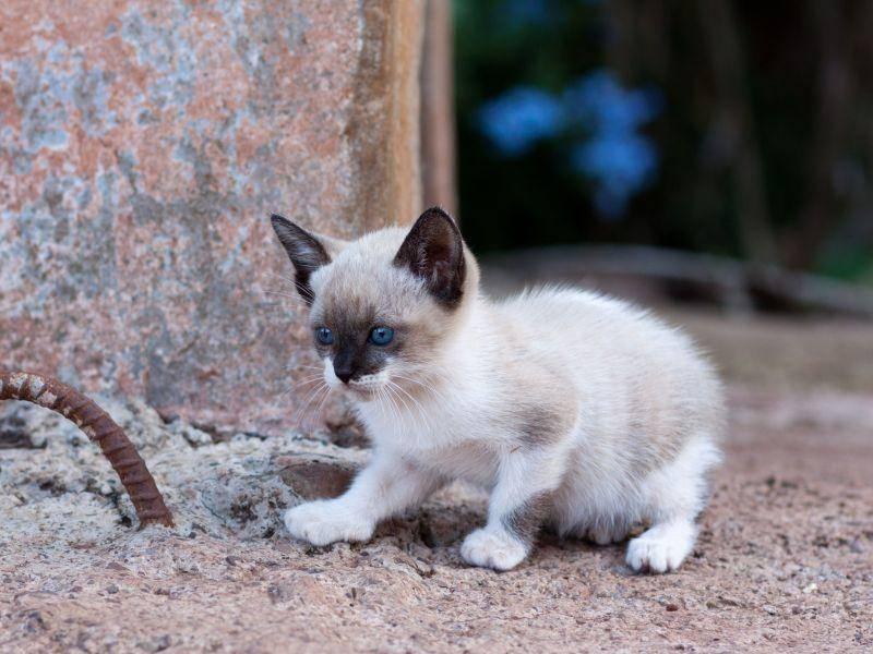 Sieht man schon. Siamkatzen sind ziemlich neugierig — Bild: Shutterstock / Ramon grosso dolarea