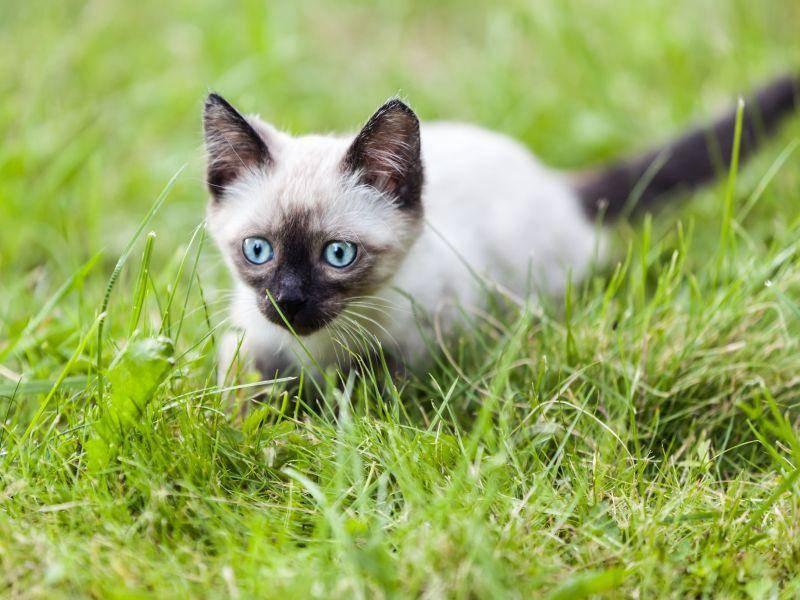 Deshalb geht die Siamkatze wohl auch so gern spazieren — Bild: Shutterstock / Ilya Andriyanov
