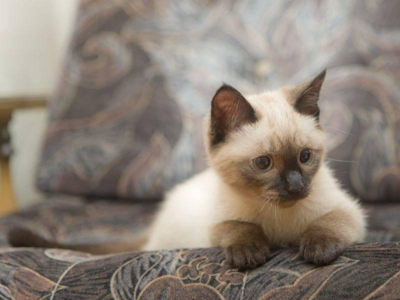 Manchmal macht die Siamkatze es sich auch gerne auf dem Sofa gemütlich — Bild: Shutterstock / Maslov Dmitry