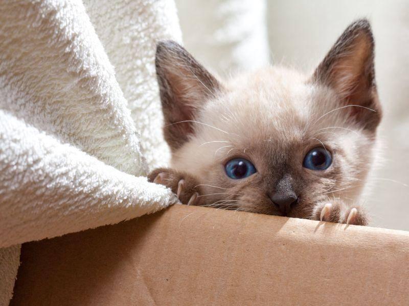 Alles genau mitzukriegen ist für die Siamkatze schon von klein an wichtig — Bild: Shutterstock / TranceDrumer