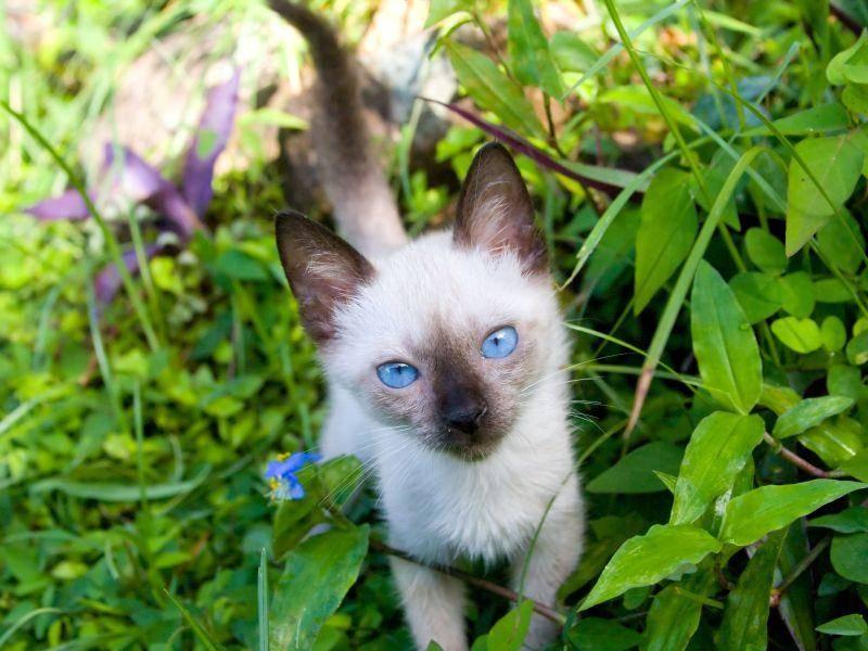 Vor allem, wenn danach wieder tolle Abenteuer auf die Siamkatze warten — Bild: Shutterstock / Jared Shomo