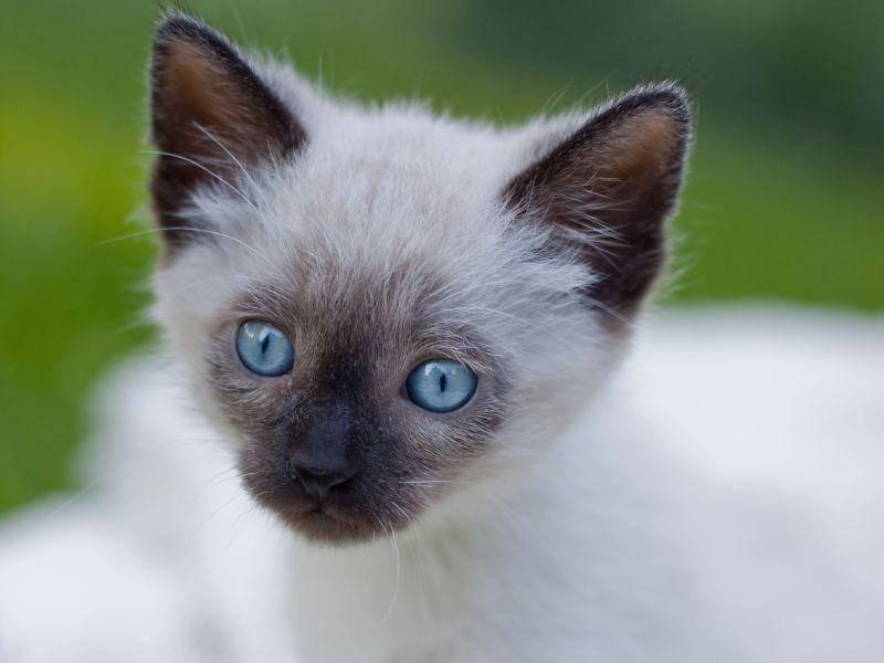 Und so hübsch sieht die Siamkatze von ganz nah aus — Bild: Shutterstock / Miles Away Photography
