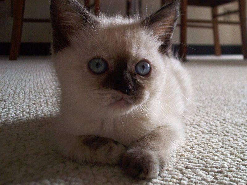 Eines der schönsten Merkmale der Siamkatze: Die blauen Augen — Bild: Shutterstock / Cedric Crucke