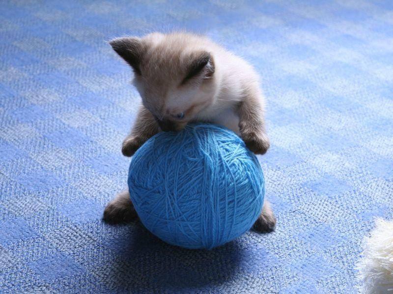Außerdem haben Siamkatzen einen hohen Spieltrieb — Bild: Shutterstock / Dmitry Kosterev