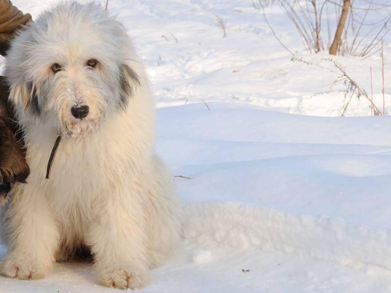 Südrussischer Ovtcharka — Bild: Shutterstock / arkivanov