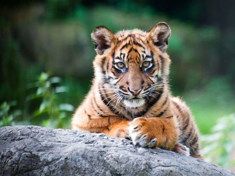 Der Tiger: Auch als Baby schon eine beeindruckende Raubkatze — Bild: Shutterstock / Eric Gevaert