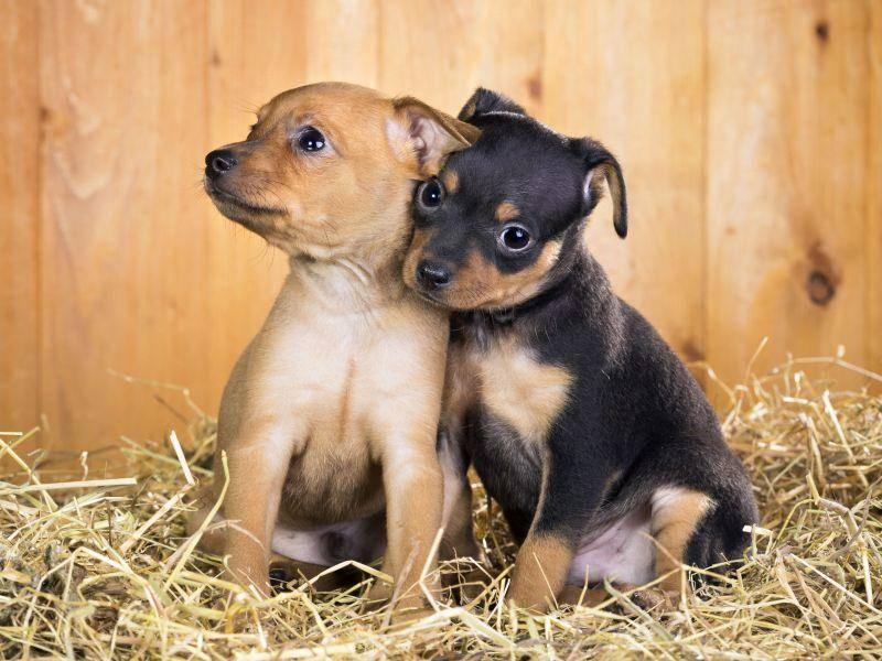 ... weil Hundegeschwister immer zusammen halten — Bild: Shutterstock / Sergey Lavrentev