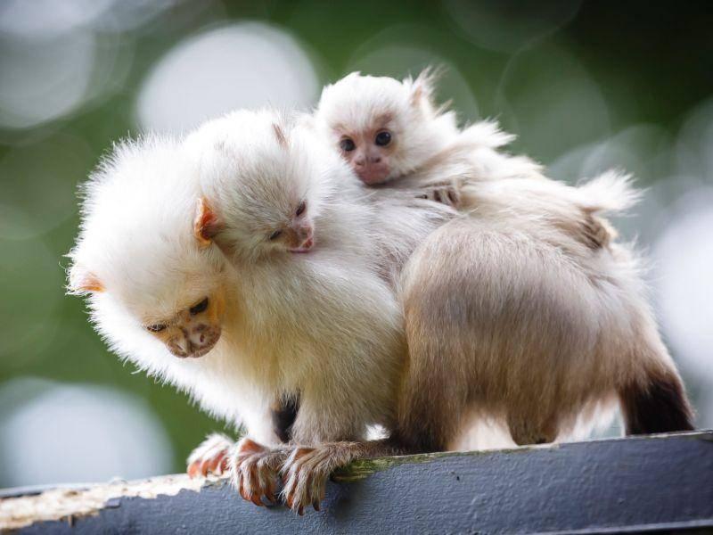 Weissbüschel Babyaffen: Lieber erst mal bei der Mama bleiben — Bild: Shutterstock / Paul Maguire