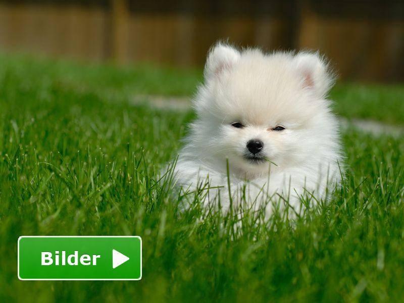 Große Wiese, kleiner Zwergspitz: Einfach bezaubernd dieser Hund — Bild: Shutterstock / Gilles DeCruyenaere