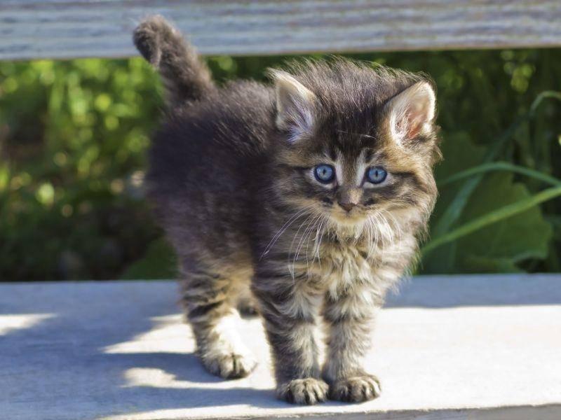 Den Sonnenschein genießen: Niedliches Katzenbaby mit blauen Augen und im Tigerkostüm — Bild: Shutterstock / gengirl