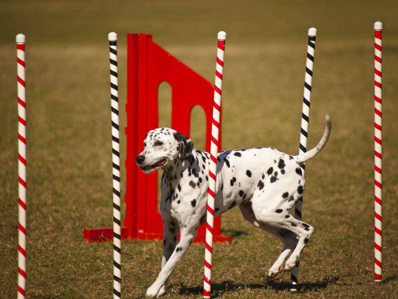 Dalmatiner sind Sportskanonen und gut in Hundesportarten wie Agilty — Bild: Shutterstock / GTS Production