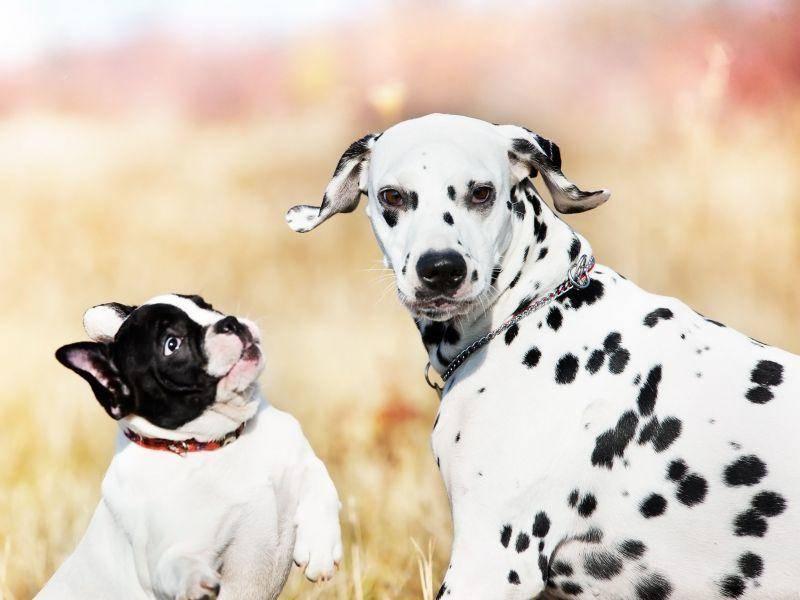 Unter Hundefreunden: Dalmatiner mit französischer Bulldogge — Bild: Shutterstock / atiana Katsai