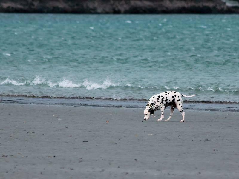 Außerdem lieben Dalmatiner lange Spaziergänge, zum Beispiel am Strand — Bild: Shutterstock / Anastasia Tveretinova
