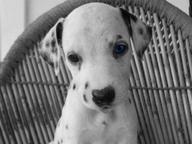 Schöner Hund: Junger Dalmatiner in Schwarz-Weiß-Optik — Bild: Shutterstock / Hernan H. Hernandez A.