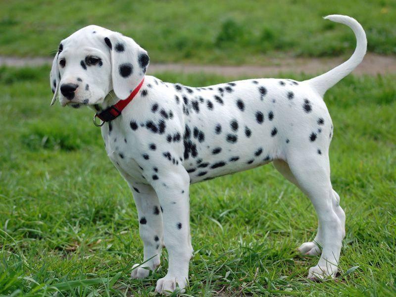 Junger Hund auf der Wiese: Dalmatiner brauchen sehr viel Auslauf — Bild: Shutterstock / Annette Kurka