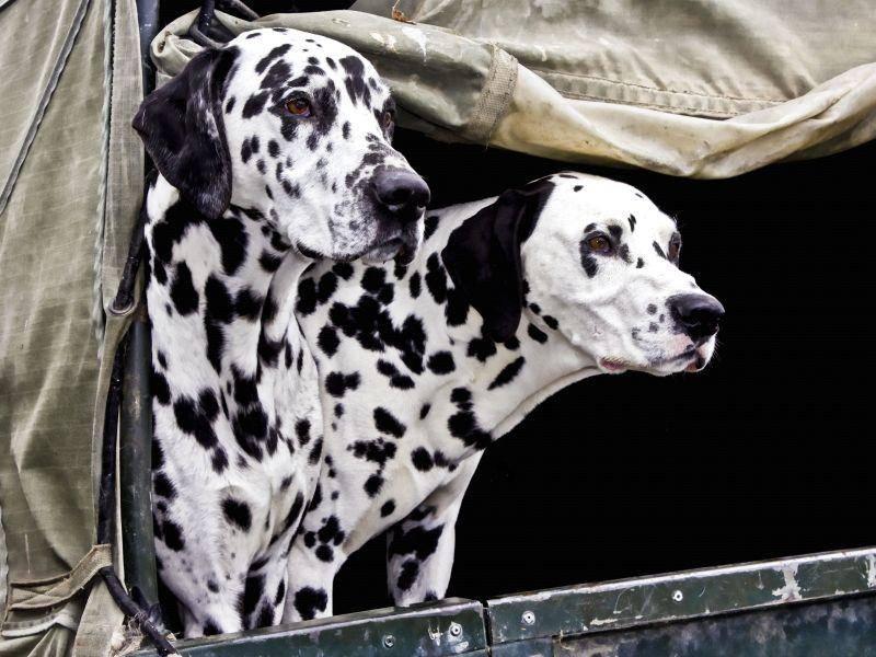 Schönes Doppelpack: Zwei Dalmatiner auf Hundetour — Bild: Shutterstock / Mary Wethey