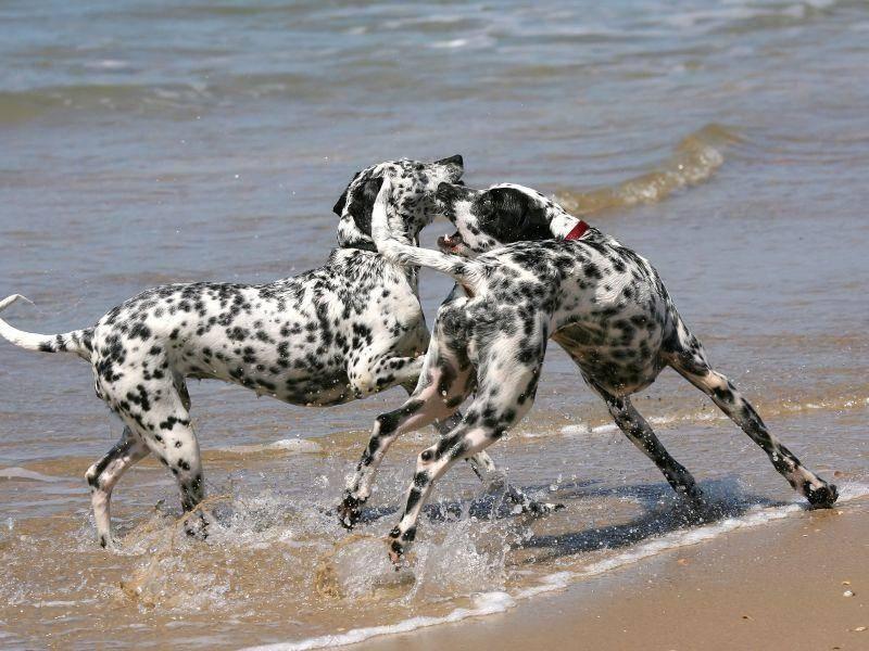 Unter Artgenossen: Zwei Dalmatiner beim Toben— Bild: Shutterstock / Hernan H. Hernandez A.