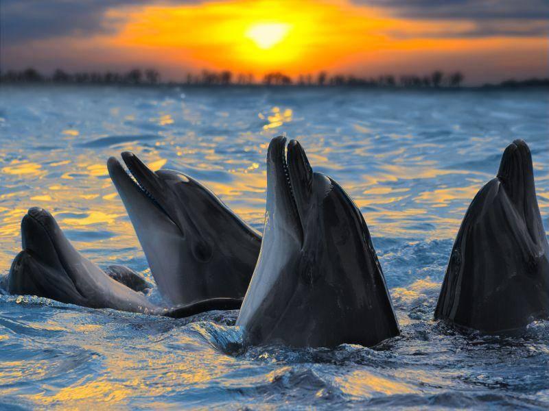 Auch Sonnenuntergänge genießen Delfine gerne in Gruppen — Bild: Shutterstock / sad444