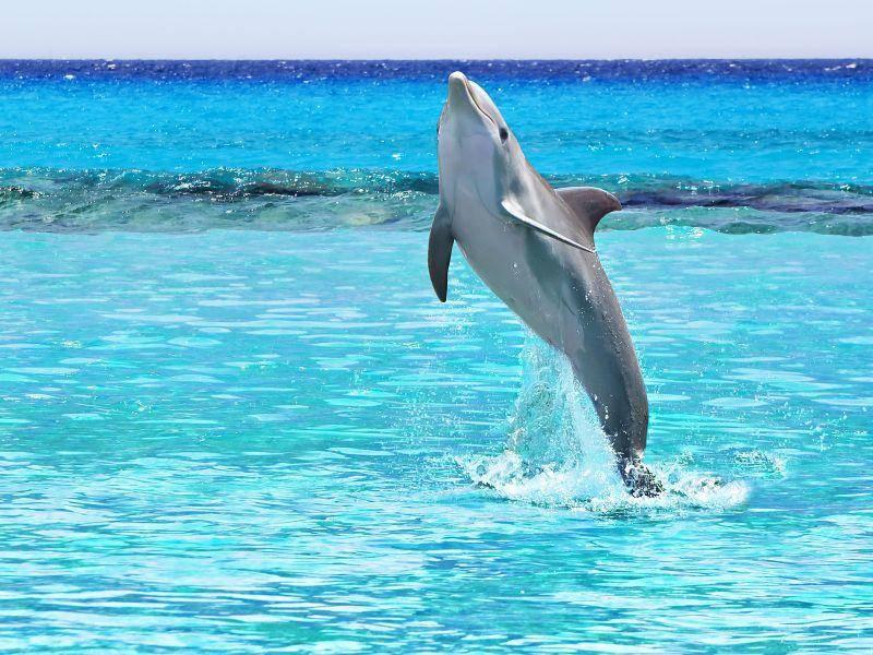 Einfach so zum Spielen: Beim Springen sind Delfine echte Akrobaten — Bild: Shutterstock / Patryk Kosmider