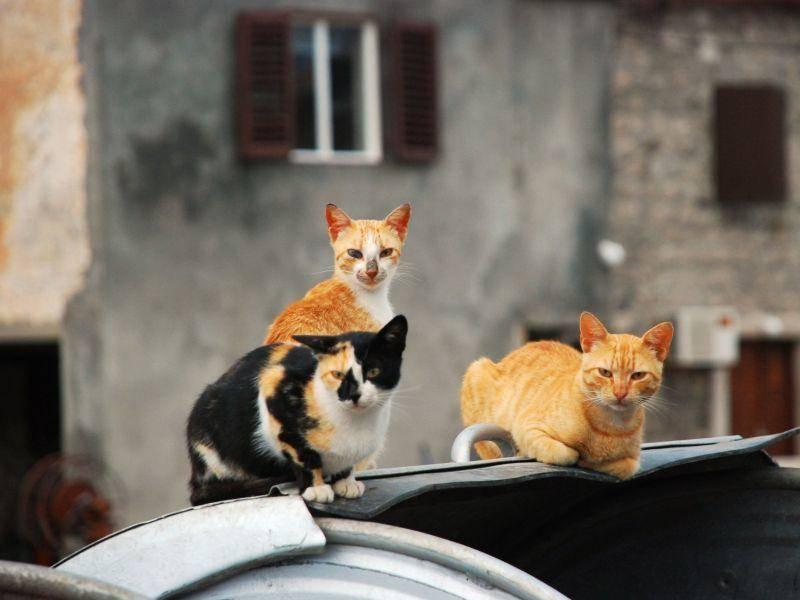 Über den Dächern: Katzengang mit dreifarbigem Anführer — Bild: Shutterstock / Jovana Bila Dubaic