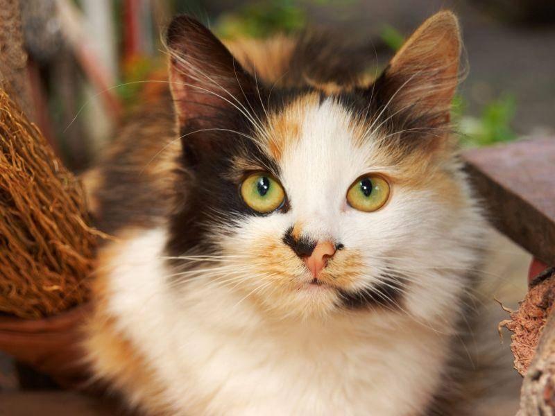 Dreifarbige Katzen haben oft eine besonders schöne Zeichnung — Bild: Shutterstock / Natalia D.