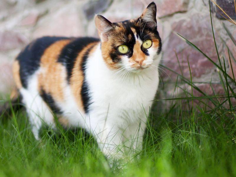 Zum Klauen schön: Dreifarbige Katze beim Spaziergang — Bild: Shutterstock / Falcona