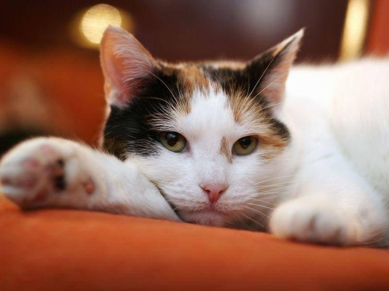Farblich abgestimmt: Dreifarbige Katze auf oranger Decke — Bild: Shutterstock / vilena makarica