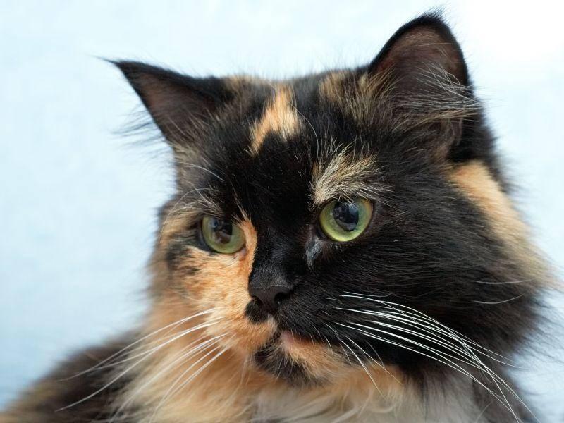 Faszinierend: Dreifarbige Katze mit schönem Profil — Bild: Shutterstock / Oleg Kozlov