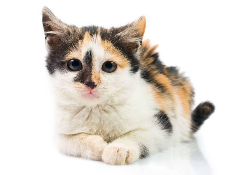 Schöner kleiner dreifarbiger Katzenkandidat — Bild: Shutterstock / Dziewul