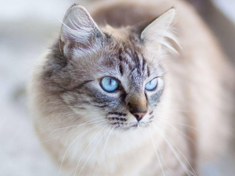 Faszinierendes Tier: Hauskatze mit blauen Augen — Bild: Shutterstock / Matej Kastelic
